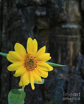 Sunflower Surprise by Kathy DesJardins