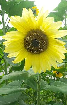 Sunflower by Ted Mahy