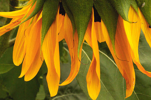 Sunflower by Terri JS Molitor