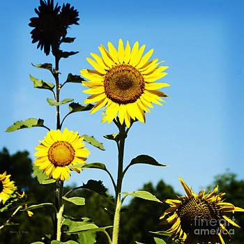 Nancy Stein - Sunflower Trio