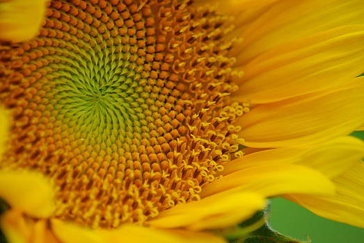 Sunflower by Wanda Jesfield