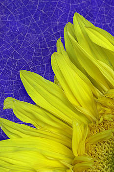 Sunflower with blue crazing by Jeanne Hoadley