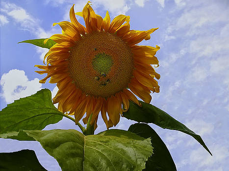 Chris Flees - Sunflower with busy bees