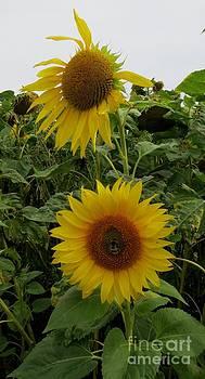 Sunflower2 by Susanne Baumann
