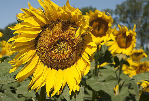 Sunflowers Aglow by Phyllis Peterson