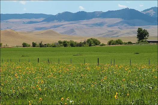 Sunflowers and Mountains  by Big Horn  Photography