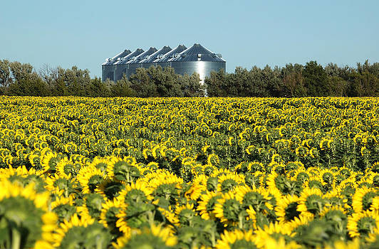 Sunflowers and Silos by Rob Huntley