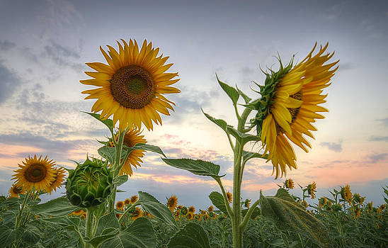 Sunflowers by Andrey Trifonov