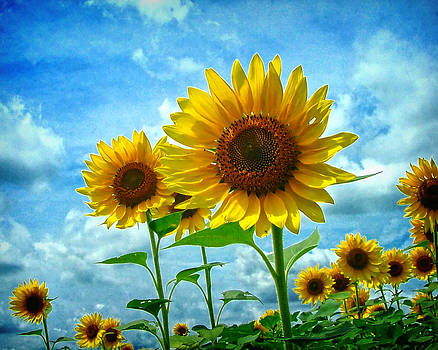 Sunflowers by Solaria -