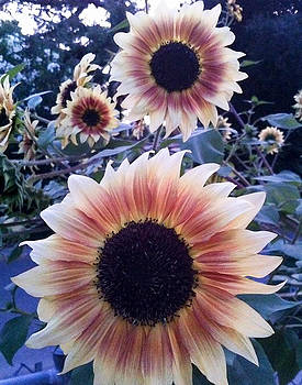 Sunflowers at Dusk by Rick Starbuck