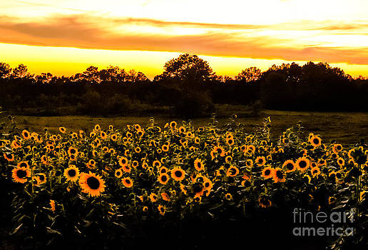 Sunflowers at Sundown by Reflections by Brynne Photography