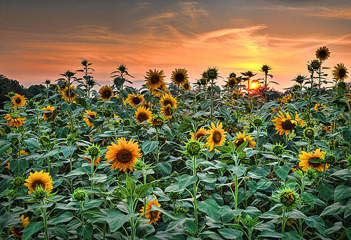 Sunflowers at Sunset by Greg Mills