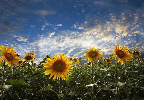 Debra and Dave Vanderlaan - Sunflowers