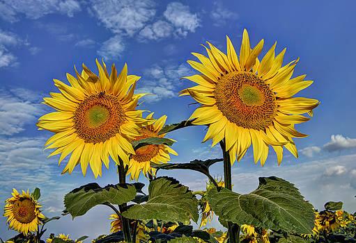 Sunflowers by Dimitar Rusev