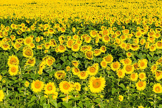 Sunflowers galore by Bob Carney