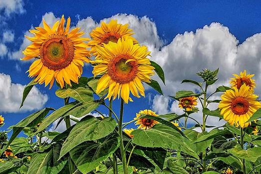 Sunflowers by Guy Harnett
