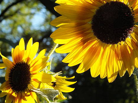 Sunflowers in The Morning Sun by Christina Shaskus