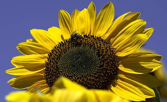 Sunflowers by John Holloway