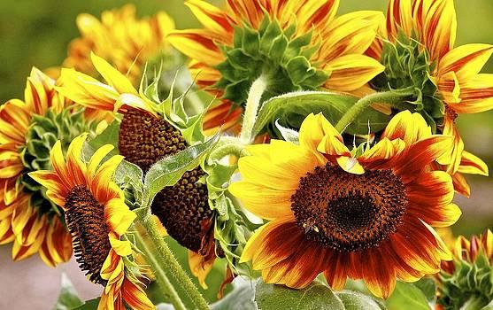 Sunflowers by John Kearns