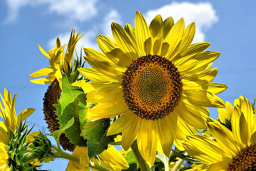 Sunflowers by Karsun Designs