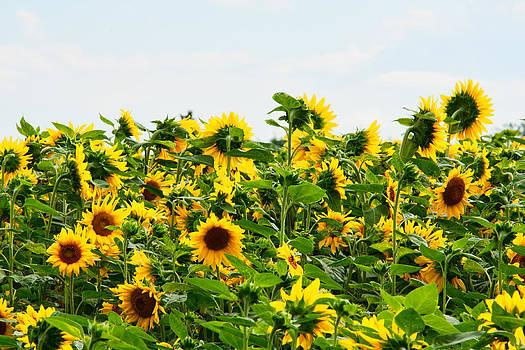 Sunflowers by Matt Dobson