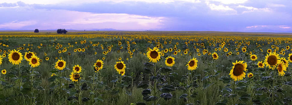 Sunflowers Meet Sunset by Tony Lazzari