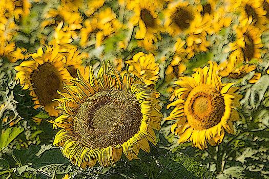 Sunflowers near Pierre South Dakota. by Rob Huntley