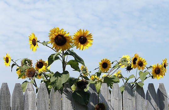 Sunflowers Over The Wooden Fence by Danielle Allard