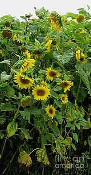 Sunflowers3 by Susanne Baumann