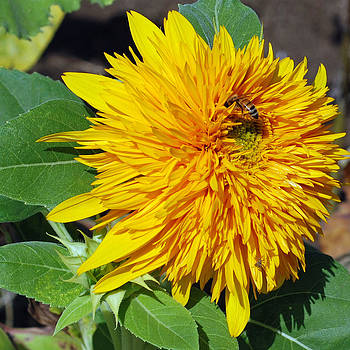Lisa Phillips - Sungold Sunflower