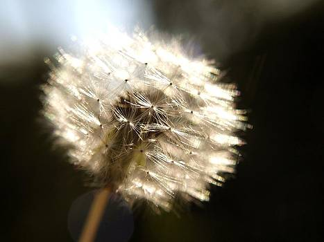Sunkissed Dandelion by Laura Lovell
