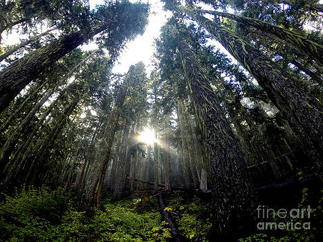 Sunlight Breaching The Firs In Mount Rainier National Park by Tanya  Searcy and Jack