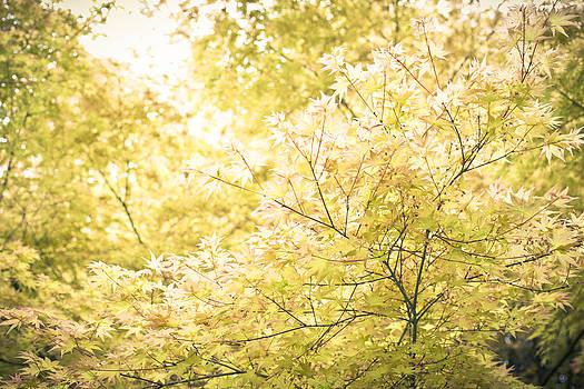Priya Ghose - Sunlight On Maple Leaves