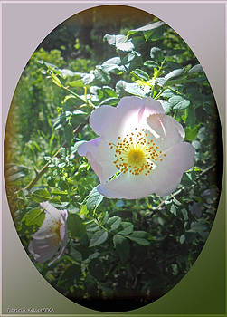 Sunlight On The Wild Pink Rose by Patricia Keller