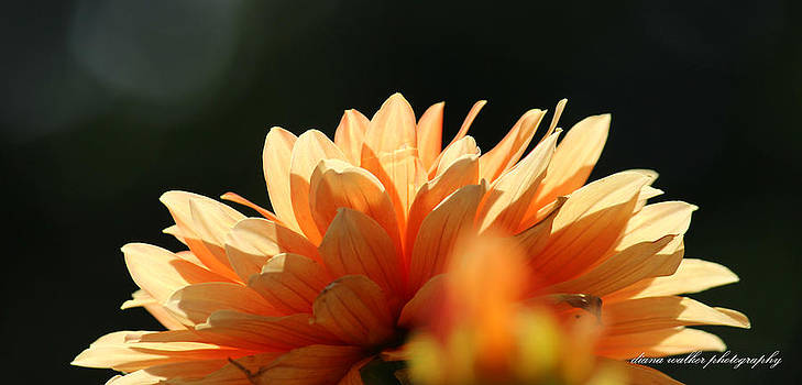 Sunlit Dahlia in Orange by Diana Walker