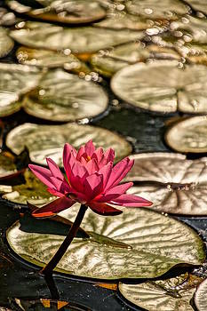 Sunlit Lily by Julie Grandfield
