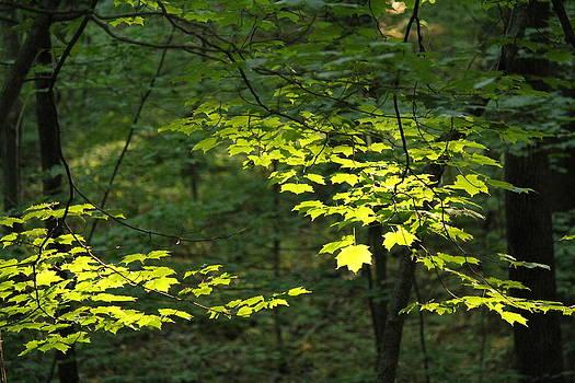 Sunlit Maple by James Hammen