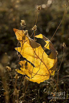 Charmian Vistaunet - Sunlit Maple Leaf