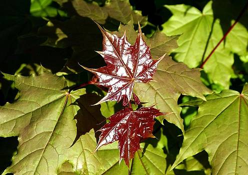 Sunlit New Maple Leaves by Will Borden