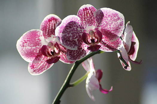 Sunlit Orchid by Marcia Crispino