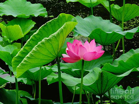 Sunning Lotus by Olivia Blessing