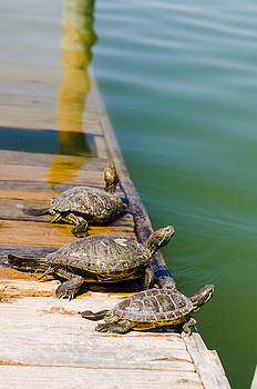 Sunning Snappers by Chris Ann Wiggins