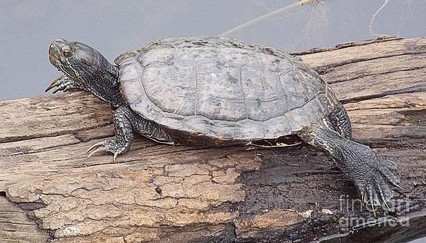 Sunning Turtle by Annette Allman