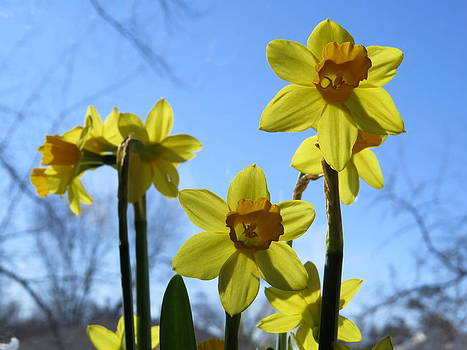 Sunny Daffodils And Blue Skies by Elisabeth Ann