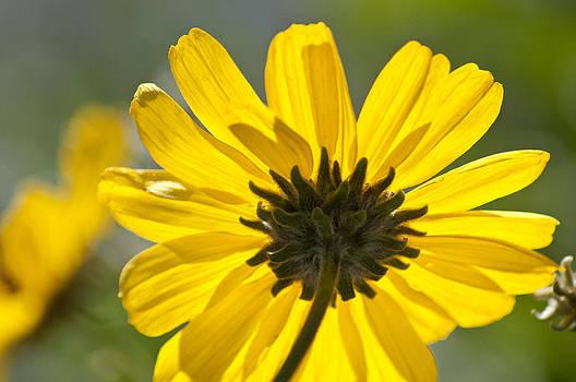 Sunny Flower Back by Floyd Raymer