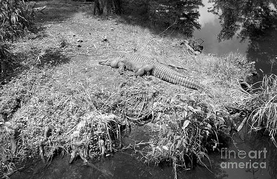 Sunny Gator Black and White by Joseph Baril