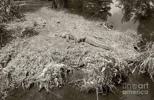 Sunny Gator Sepia  by Joseph Baril