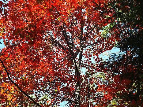 Sunny Maple by Gene Cyr