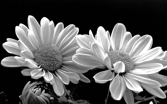 Sunny Mums in Black and White by Rita Mueller