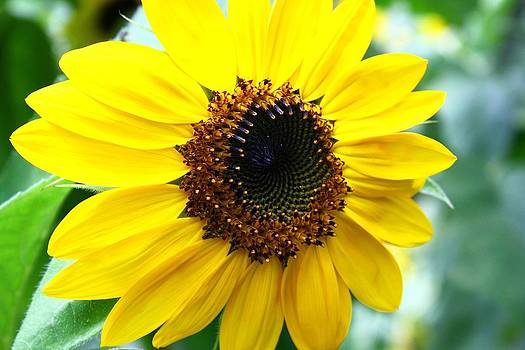 Veronica Vandenburg - Sunny Sunflower
